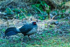 Male Kalij pheasant. Found in forests and thickets, especially in the Himalayan foothills walking to find foods royalty free stock photo