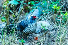 Male Kalij pheasant. Found in forests and thickets, especially in the Himalayan foothills walking to find foods stock image
