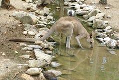 Male kangaroo drinking from a stream royalty free stock photo