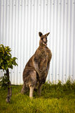 Male Kangaroo poking tongue out. A male Red Kangaroo in front of a white corrugated wall poking his tongue out Stock Photos