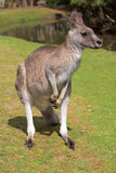 Male kangaroo standing near a lake. Phillip Island Wildlife Park, Australia Royalty Free Stock Images
