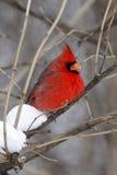 Male kardinal på en förgrena sig Fotografering för Bildbyråer