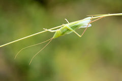 Male Katydid Stock Photos