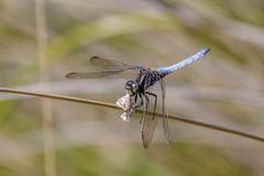 Male Keeled Skimmer dragonfly (Orthetrum coerulescens) eating a moth Stock Photography