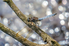 Male Keeled Skimmer Orthetrum coerulescens perched Royalty Free Stock Photography