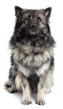 Male Keeshond. A portrait of a male Keeshond on a white background stock photo