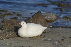 Male Kelp Goose on Carcass Island Royalty Free Stock Photography