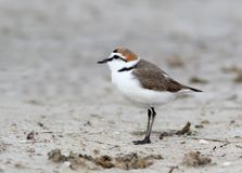 The male of a Kentish plover stands in the breeding plumage standing on the sand. On a blurry light gray background. Close-up and detailed snapshot Stock Photo