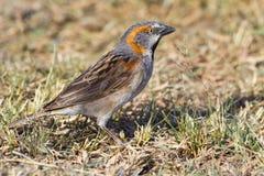 Male Kenya Rufous Sparrow - Passer rufocinctus Royalty Free Stock Photography