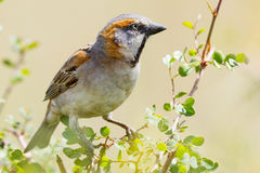 Male Kenya Rufous Sparrow - Passer rufocinctus. A male Kenya Rufous Sparrow, perched on top of an Acacia bush in Nairobi National Park, Kenya royalty free stock photos