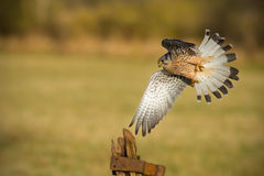 Male kestrel flying past old textured gate post Stock Photography