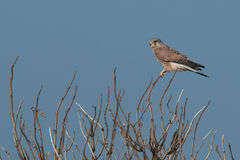 Male kestrel on a twig Royalty Free Stock Photography