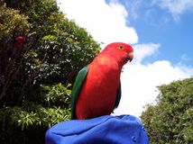 Male King Parrot. This is a very friendly male king parrot. There are a lot of them at O'Reillys, in the Lamington National park, in Queensland Australia Royalty Free Stock Images