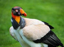 Male King Vulture Bird Stock Photo
