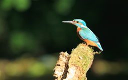 Male kingfisher. Royalty Free Stock Photo