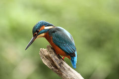 Male Kingfisher - alcedo atthis Stock Photo