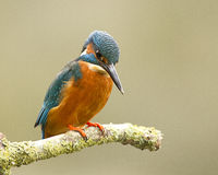 Male Kingfisher - alcedo atthis Royalty Free Stock Photos