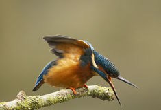 Male Kingfisher - Alcedoatthis Arkivbilder