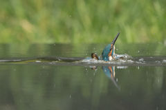 Male Kingfisher Royalty Free Stock Image