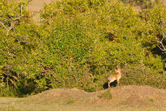 Male Kirks Dikdik In Morning Sunshine. A male Kirk`s Dikdik, on the edge of his forest home, warming up in the early morning sun, after a cool night in Olare Royalty Free Stock Photos