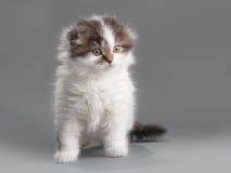 Male kitten scottish fold breed Royalty Free Stock Images