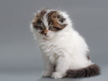 Male kitten scottish fold breed Royalty Free Stock Photography