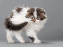 Male kitten scottish fold breed Stock Image