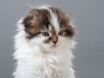 Male kitten scottish fold breed Royalty Free Stock Photo