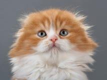 Male kitten scottish fold breed Stock Photo