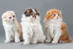 Male kitten scottish fold breed Stock Photography