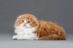 Male kitten scottish fold breed Stock Photography