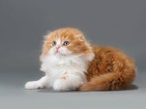 Male kitten scottish fold breed Stock Photos