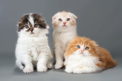 Male kitten scottish fold breed Royalty Free Stock Image