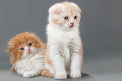 Male kitten scottish fold breed Royalty Free Stock Images