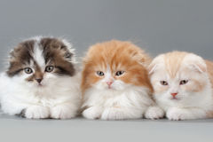 Male kitten scottish fold breed Stock Images