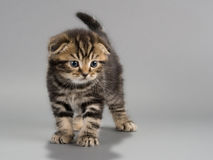 Male kitten scottish fold breed Royalty Free Stock Photos