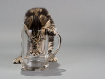 Male kitten scottish fold breed without beer Royalty Free Stock Photography