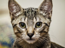 Male kitten. Male tabby kitten portrait closeup Stock Photography