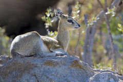 Male klipspringer resting on large boulder in the early morning Royalty Free Stock Images