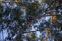 Male koala climbing on the top of a eucalypt tree. At afternoon cheeky australia bear animals treetop great ocean road forest gum marsupial leaf natural stock image