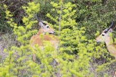 Male kob antelope standing in brush. Male adult kob antelope standing in brush in Queen Elizabeth National Park, Uganda Royalty Free Stock Images