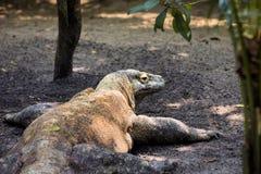 Male Komodo Dragon, Varanus comodensis Stock Photography