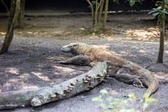 Male Komodo Dragon, Varanus comodensis Royalty Free Stock Image