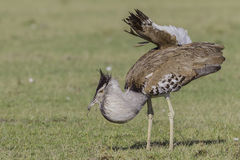 Male Kori Bustard, Breeding Plumage, Eating Lizard. Kori Bustards are omnivorous. They forage in bushes and short trees, but mostly pick insects and small Royalty Free Stock Photography
