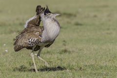 Male Kori Bustard, Foot Raised. Kori Bustards are Africa's largest flying bird, weighing up to 42lbs (19kg) and can take off from a standing start Stock Photo
