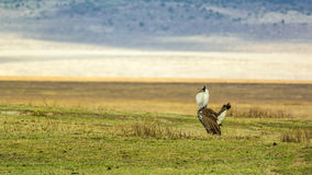 Male Kori bustard in mating display Royalty Free Stock Images