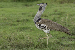 Male Kori Bustard, Strutting. Kori Bustards are seen singly, in pairs, small family groups and sometimes in larger gatherings after a fire or recently harvested Royalty Free Stock Photography