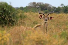 Male Kudu_04 Royalty Free Stock Image