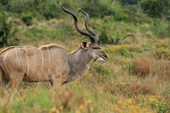 Male Kudu_05 Stock Photos