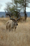 Male Kudu. At Kruger National park, South Africa Royalty Free Stock Photography